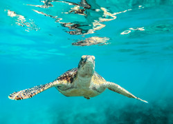 tartaruga marina alle Barbados