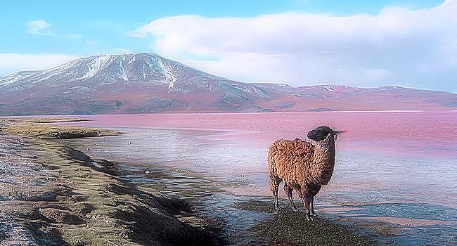 Lama andino