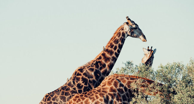 Giraffe che svettano
