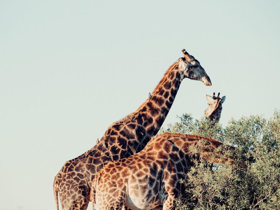 Giraffe che brucano chiome di alberi